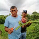 Growing dragonfruit at La Montañita agroecological farm in Nicaragua